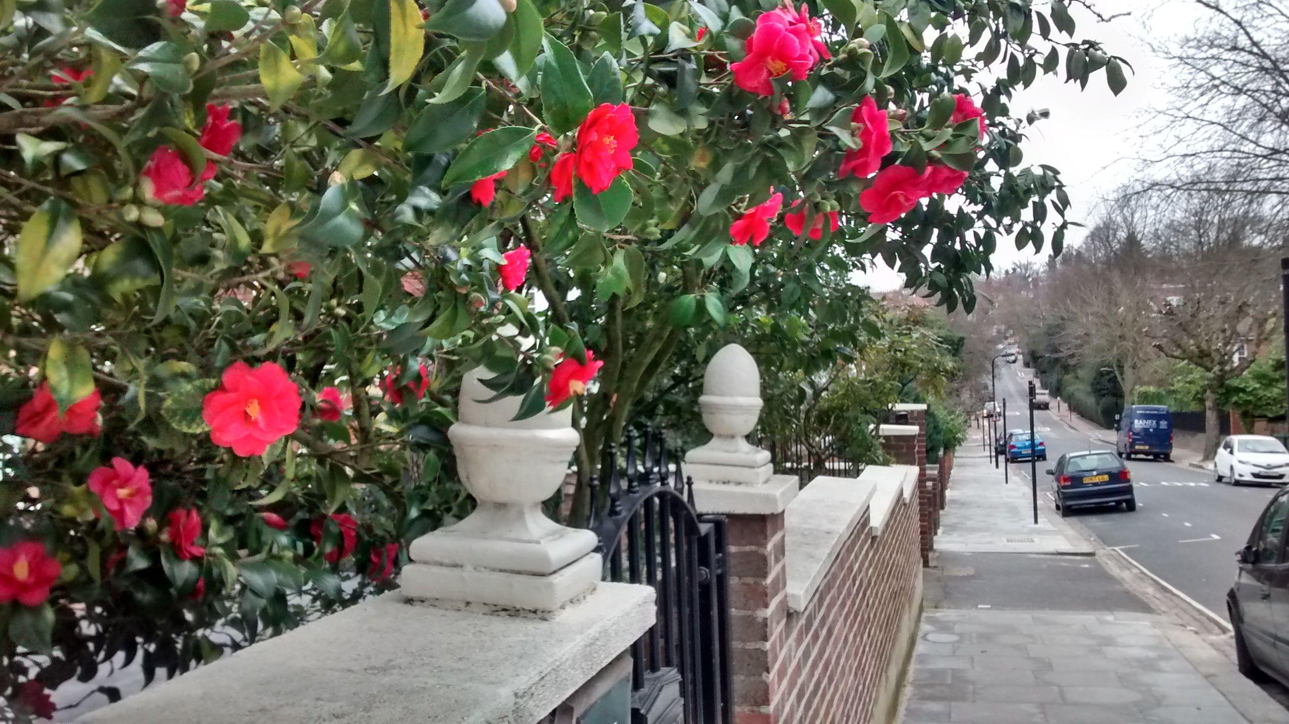 Spring flowers at liberty in london camellias in bloom in londons hampstead neighborhood mightylinksfo